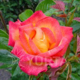Trandafir Teahybrid Alinka