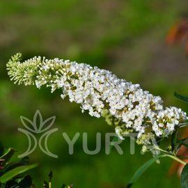 Liliac de vară White Profusion