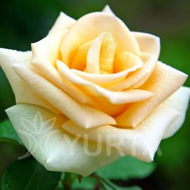 Trandafir Teahybrid Casanova