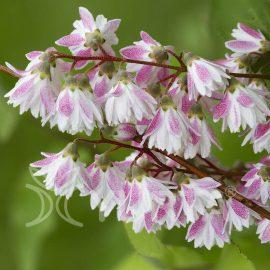 Deutzia hybrida Kalmiiflora