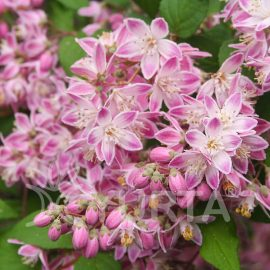 Deutzia hybrida Strawberry fields în ghiveci