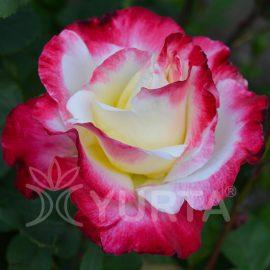 Trandafir Teahybrid Double Parfume