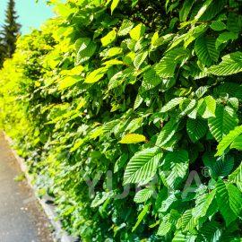 Carpen Carpinus betulus, conține 5 plante