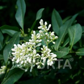 Lemn căinesc Ligustrum ovalifolium, 5 plante