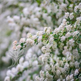 Cununiță Spirea vanhouttei, 5 plante