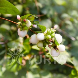 Hurmuz alb Symphoricarpos albus, 5 plante
