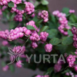 Hurmuz roșu Symphoricarpos orbiculatus, 5 plante