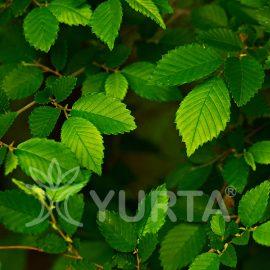 Ulm Ulmus pumila, conține 5 plante