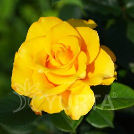 Trandafir Teahybrid Golden Perfume