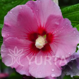 Hibiscus Maike