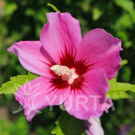 Hibiscus Pink Giant