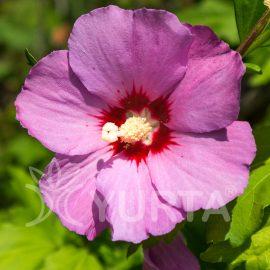 Hibiscus Russian Violet