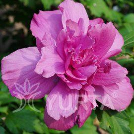 Hibiscus Sanchoyo
