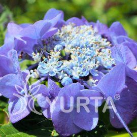Hortensia Blaumeise
