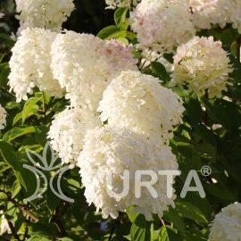 Hortensia Grandiflora