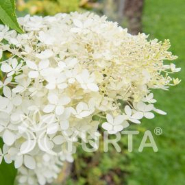 Hortensia Phantom