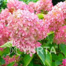 Hortensia Pink Lady