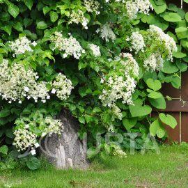 Hortensia cățărătoare Hydrangea petiolaris