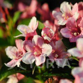 Kolkwitzia amabilis Pink Cloud în ghiveci