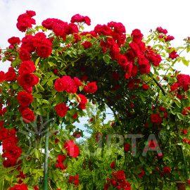 Trandafir urcător Kormun