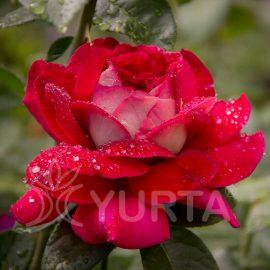 Trandafir Teahybrid Kronenbourg