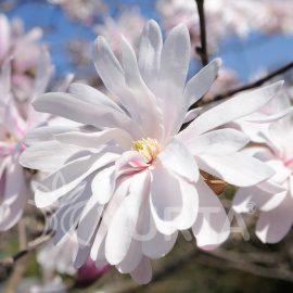 Magnolia Rosea