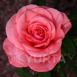 Trandafir Teahybrid Mondial
