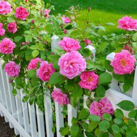 Trandafir urcător Parade