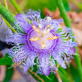 Floarea pasiunii Purple Haze