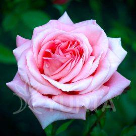Trandafir Teahybrid Passion