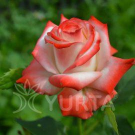 Trandafir Teahybrid Princessa