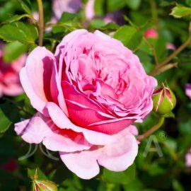 Trandafir Polyantha Queen of England