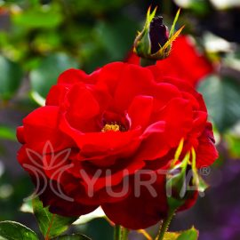 Trandafir polyantha Red delight