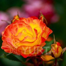 Trandafir polyantha Rumba în ghiveci de 2 L