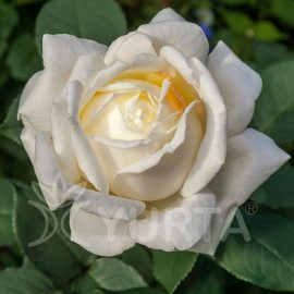 Trandafir Teahybrid Virgo