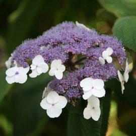 Hortensia Macrophylla
