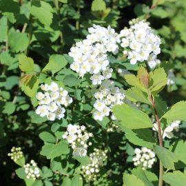 Floarea miresii Spiraea vanhouttei