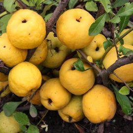 Gutui japonez Chaenomeles japonica