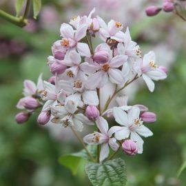 Deutzia Hybrida Montrose în ghiveci