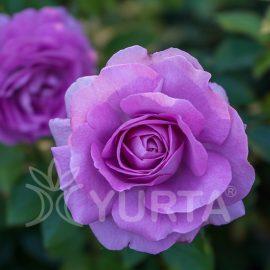 Trandafir Teahybrid Sissi