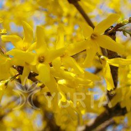 Ploaie de aur Forsythia x Intermedia