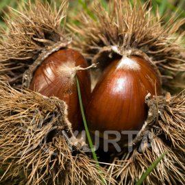 Castan comestibil Castanea sativa