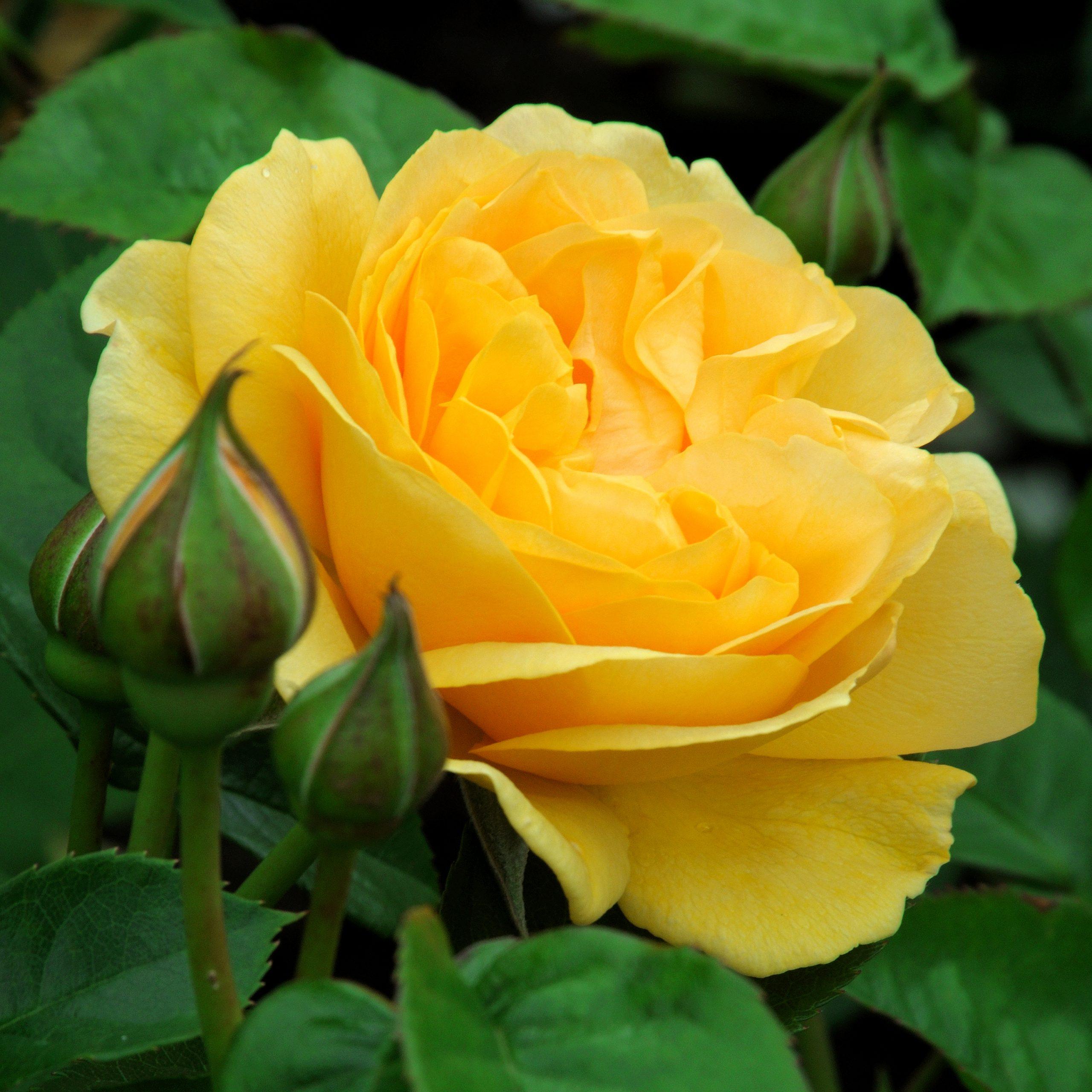 Trandafir Golden Delight