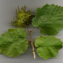 Alun Turcesc Corylus colurna