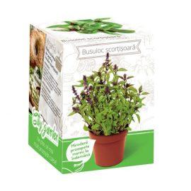 Kit plante aromatice – Busuioc cu aromă de scorțișoară