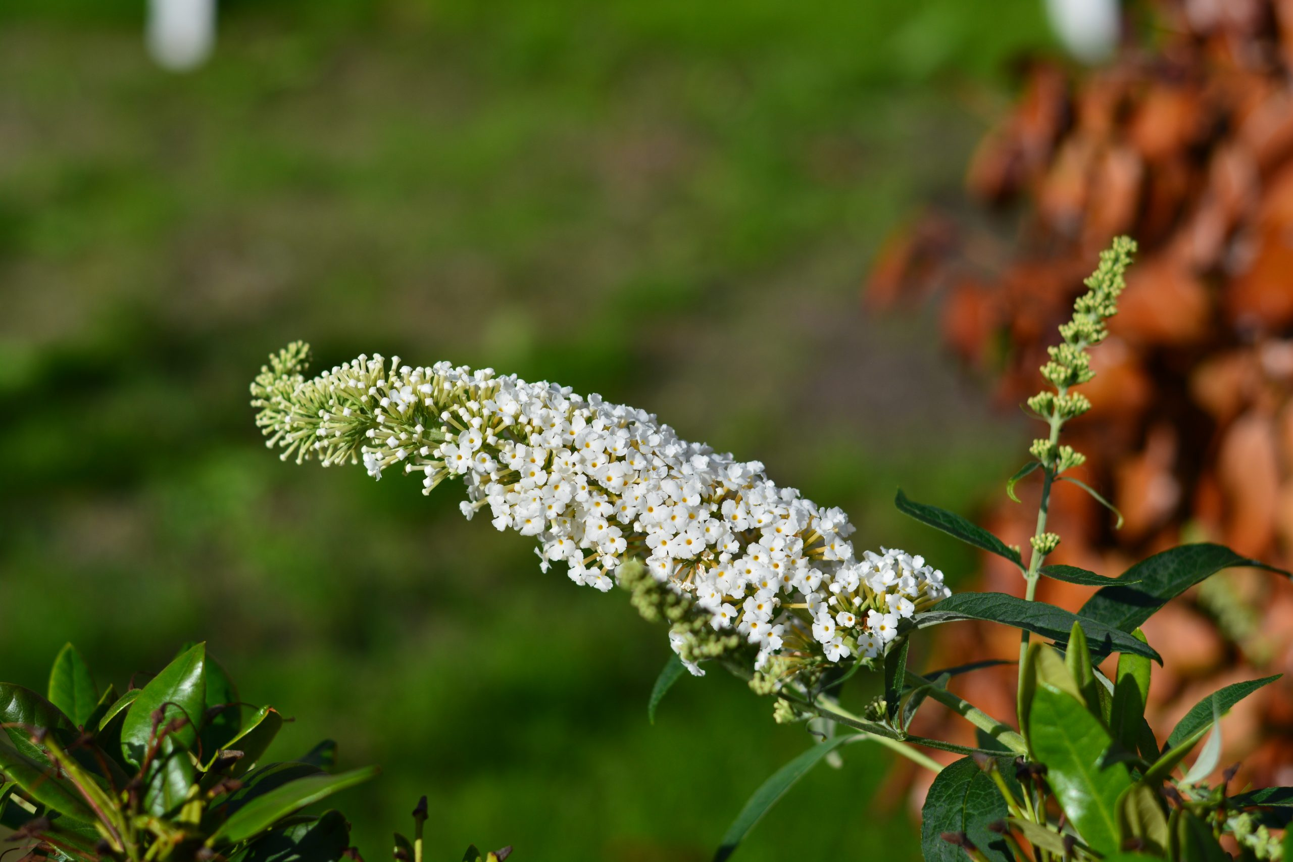 You are currently viewing Liliac de vară White Profusion