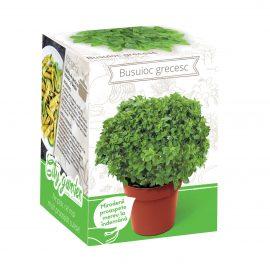 Kit plante aromatice – Busuioc grecesc