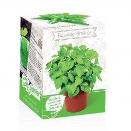 Kit plante aromatice – Busuioc lămâios
