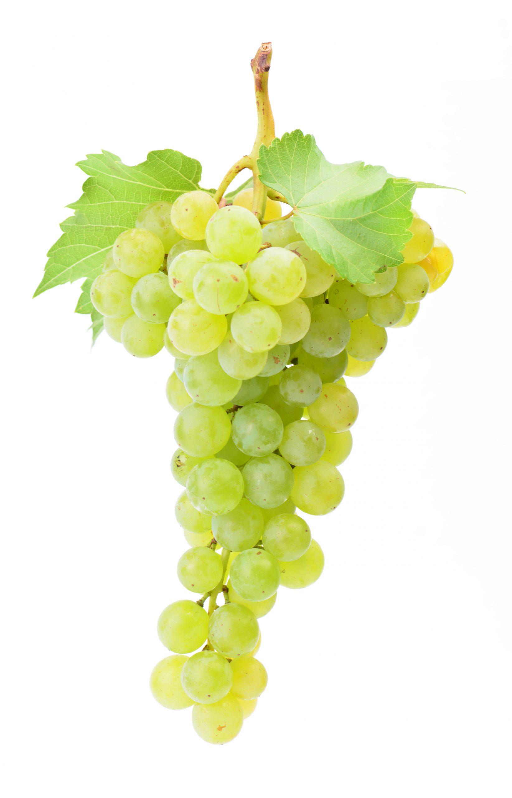 You are currently viewing Viță de vie Chardonnay