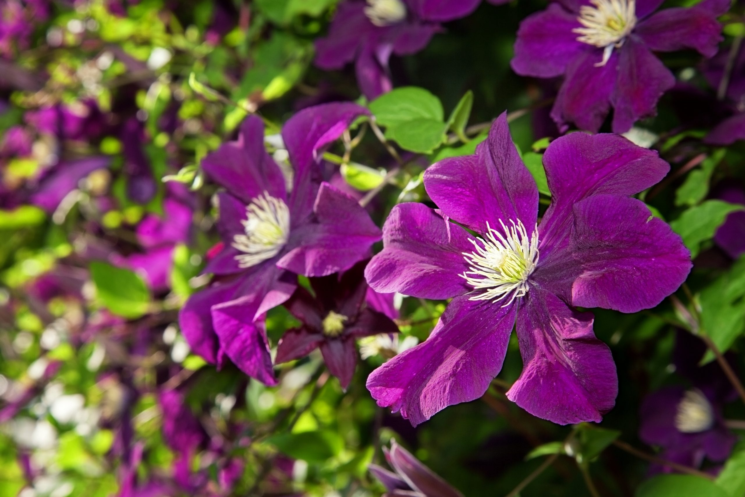You are currently viewing Clematis Rasputin-Gipsy Queen
